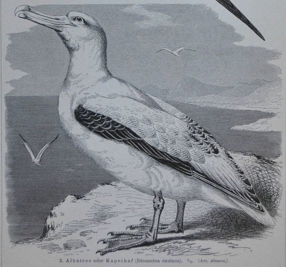 The wandering albatross and the Ascension frigatebird  print. 1897. Antique illustration. 118 years lithograph. 9'6 x 6'2 inches.