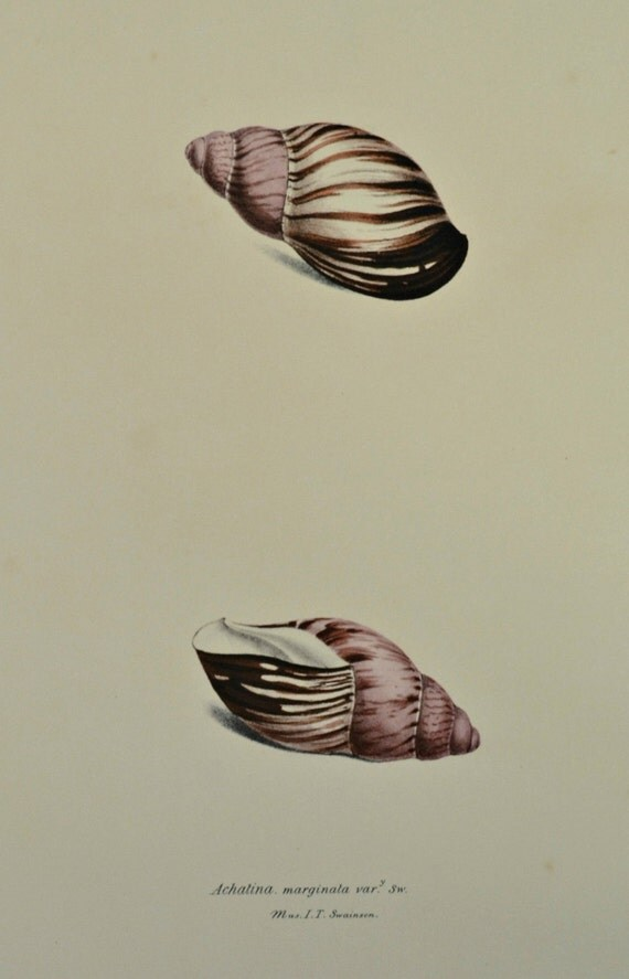 Exotic conchology print. Achatina marginata. Giant West African snail.  1968. Vintage book plate. Shell print. 11'3 x 9'2 inches.