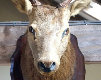 French Antique Deer Head Taxidermy