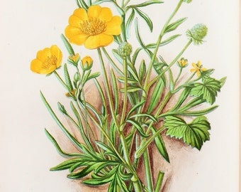 Anne Pratt Antique Botanical Print - Crowfoots, Buttercup (5)
