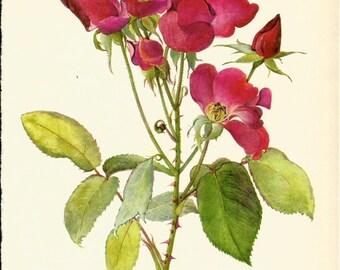 VINTAGE ROSE PRINT Pink Rose 1965 Botanical Print - Perfect Gift for Anniversary, Wedding, Birthday, Graduation, Christmas (Rose 50)