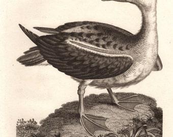 Large Antique Albatross Diomedia Original  Steel Engraving over 200 years old 1800s Superb Print  Wildlife Nature