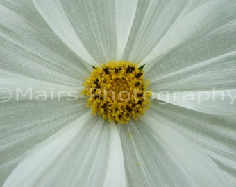 Cottage Decor, Macro White Yellow Cosmos Flower Nature, Garden Photography, Fine Art Photography matted & signed 5x7 Original Photograph