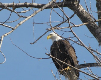 Eagle Photo, Bird Photos, Eagle Watching, Nature Photography, Country Photography, Fine Art Print