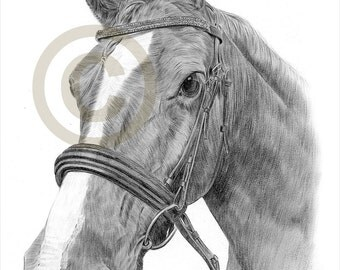 Stallion Horse pencil drawing print - A4 size - artwork signed by artist Gary Tymon - Ltd Ed 50 prints only - pencil portrait