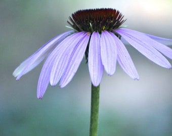 Cone Flower with purple hues