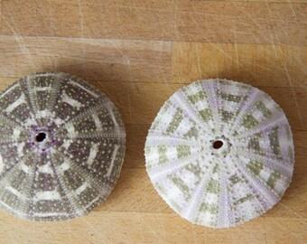 Set of Alfonso sea urchin