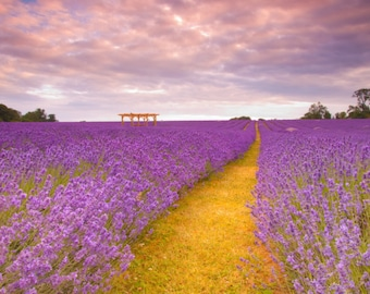 200+ Lavender Seeds- Italian Heirloom Herb