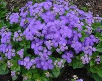 Ageratum Seeds, A. Mexican Blue, Flower Seeds, Floss Flower