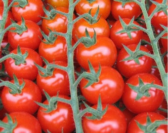 Large Red Cherry Tomato - 50 seeds (Organic/non-GMO)