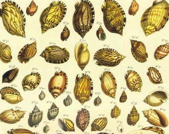 Tropical Sea Shell Collection Vintage Seba Conchology Natural History Seashell Lithograph Chart Poster Print
