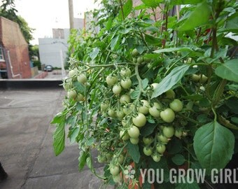 Whippersnapper Tomato for Containers (Very Early, Very Compact )