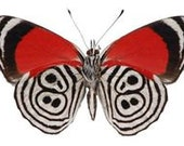 """Real Diaethria neglecta """"88"""" Butterfly, spread for your project or laminated or unmounted"""