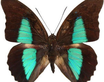 Real Prepona eugenes butterfly, spread for your project or laminated or unmounted