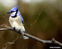 Blue Jay photo, Blue Jay art, bird photo, bird art, Blue Jay decor, blue jay print, bird print, blue bird photo, blue bird print, blue jay