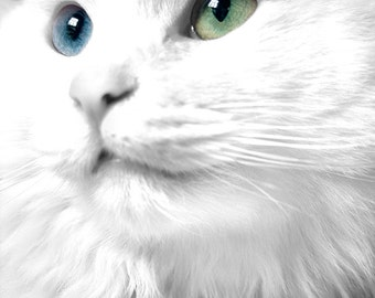 Cat Photograph, Animal Photography, White Cat, Persian Kitty, Cat Art Print, Cat Eyes, Blue, Green, 8x10 - Sweet Daisy