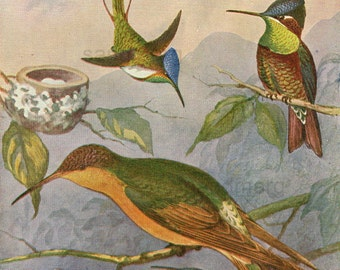 Antique  Edwardian Chromolithograph Chart of Hummingbirds