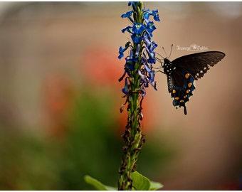 Blue Pipevine Swallowtail Butterfly Fine Art Canvas wrap