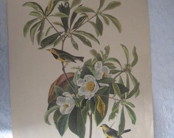 Drawing of Bachman's Warbler by J J Audubon Plate 37