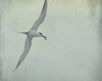 Under Your Wings - Tern in flight Beach Tern Beach Bird Ocean lover Ocean calling Thank you dear Valentine gift love gift Fine Art Print 8x8