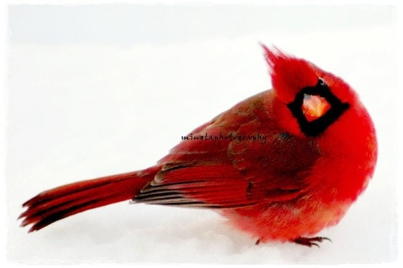Yes Dear - Male Cardinal in snow Ruby red snow white Christmas red and white valentine gift angry bird anger bird Fine Art Photograph Print