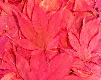 SALE, 200 Real Pressed Japanese Maple Leaves, Perfect for Wedding Table Decor, Flower Girl Toss, Fall Leaf Decor, Leaf Decorations