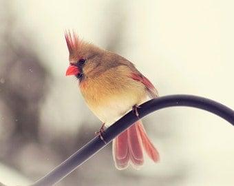 Cardinal photo, Bird photography, Female Cardinal #2, winter cardinal, nature photography, new england photo, red, tan, black, home decor