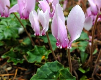 Ivy-leaved Cyclamen Seeds (Cyclamen hederifolium)