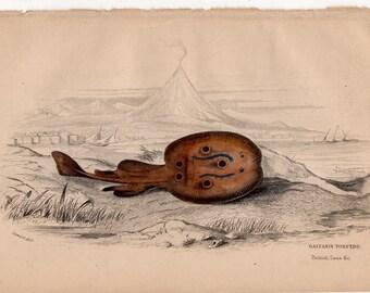1836 stingray skate original antique marine ocean sea life print - galvanis torpedo ray