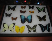 blue morpho didius butterfly sourounded by a collage of mounted spread lepidoptera