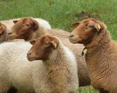 Coburg Fox, Coburger Fuchsschaff *Top, Rare Breed