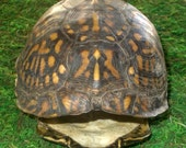 Eastern Box Turtle Shell, non-endangered - Good For Educational   Purposes, Taxidermy  FREE SHIPPING!!!