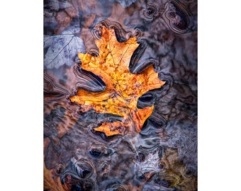 Autumn Fallen Oak Leaf on the shore of Hall Lake in the Yankee Springs Recreation Area in Southwest Michigan No.0103 A Fall Photograph