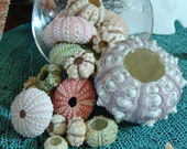 Sea Urchins Sampler Pack/ Colorful Natural Sea Urchin Shells/ Violet, Pink, Green/ Decorating ideas for your Beach Home