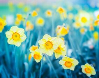 daffodil print teal wall art large botanical print botanical art prints floral photography flower fine art photography yellow blue aqua
