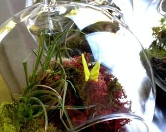 Handblown butterfly pavilion tillandsia (air plant) terrarium