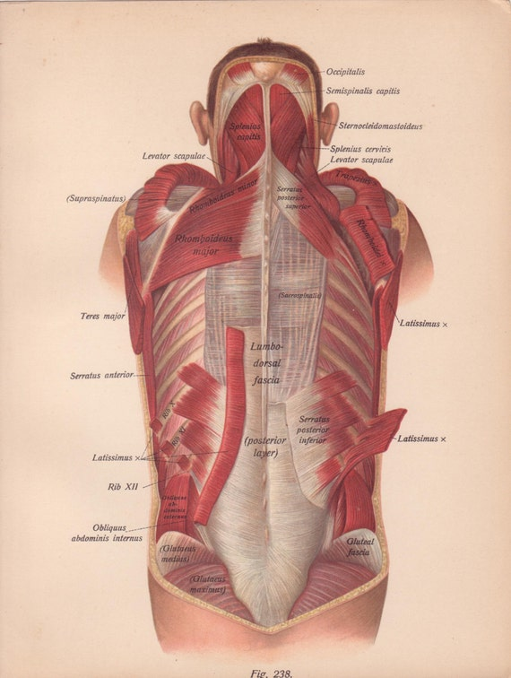 Items Similar To Antique Medical Page Diagram Back Muscles Head Vtg 1911 Early 1900s Book Art