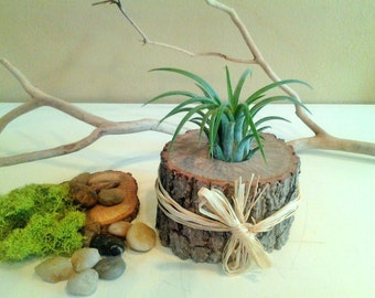 TREASURY ITEM - Air plant terrarium - Tree slices - Air plant - Holiday gift - Home and living - Wedding favors - Wood terrarium