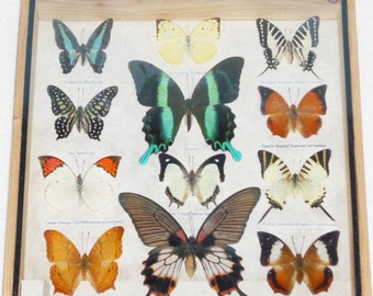 Real 12 Mix Butterfly for sale in wood frame Taxidermy / B01H