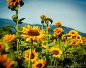 Sunflower, Flower Photography, Sunflower Wall Art, Farm photography, Blue Ridge Mountains, Flower Photo, Office decor Kids Children's Room