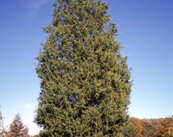 500 Eastern Red Cedar Tree Seeds, Juniperus virginiana