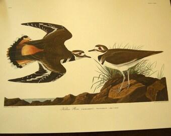 1950's Unframed Audubon, Havell, Kildeer Plover Print