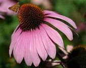 Echinacea flower perennial Coneflower - NO GMO Non-Hybrid Organic Seed Packet - Medicinal