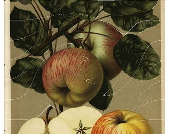 Antique Botaical Fruit Print -  Charlomwsky - Apples Just gorgeous Lithogrpah