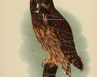 Antique Original  Natural History Colored Bird Print-  Short Eared Owl- Owl