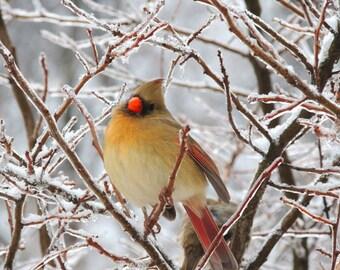 Cardinal Photograph - Icy Tree - Female Cardinal - Nature Art - Bird Art - Winter Bird - New York Cardinal - Wall Decor - Bird Photograph