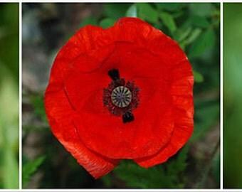Papaver Rhoeas, Red Poppy - Heirloom Flower Plant Seeds