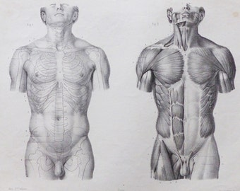 Human Muscles - Antique French Human Anatomy Plate 1866' - A6