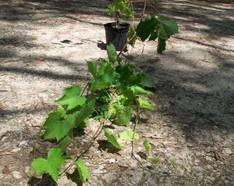 Siebel 9110 Grape Vine 1 Gal. Plants Healthy Plant Juicy Grapes Vineyards Garden Vineyard Grapes Vineyards Natural Antioxidants Gardens