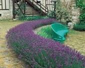 50 - Lavender Seeds - Munstead - Heirloom Lavender Seeds, Non-GMO Lavender Seeds, Heirloom Herb Seeds, Non-Gmo Seeds, Medicinal Herb Seeds